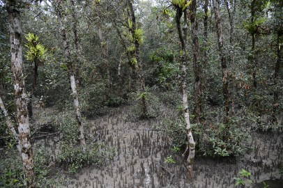 マングローブの森