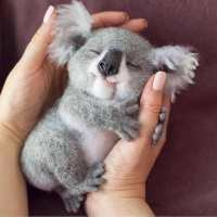 Real or Fake? Sweet baby koala    . Follow us  ️...