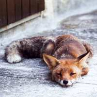 A fox sleeping on the doorstep. The stop for the Coronavirus has brought nature ...