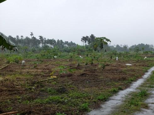 Arbres à papayes couchés par le dernier typhon