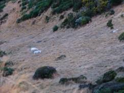 Premiers moutons en vue !