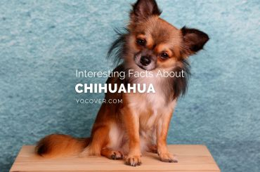 Facts about chihuahua
