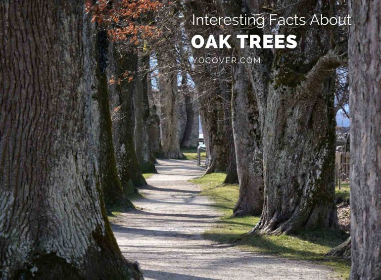 Facts about Oak Trees