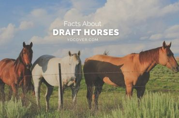 facts about draft horses