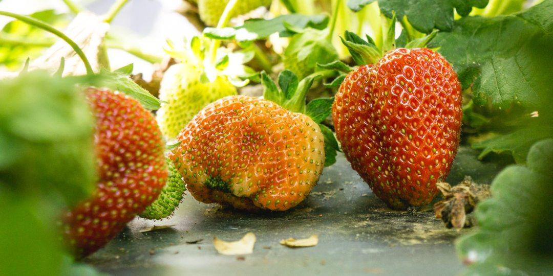 Pick Your Own Strawberries - Yoders' Farm - Lynchburg VA