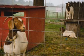 Stop by and say hi to the goats...