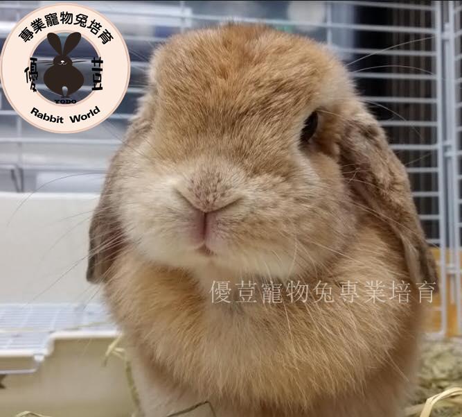 日本幼兔區 - 優荳寵物兔【均林寵物館】