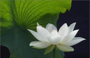 Loto blanco con hoja