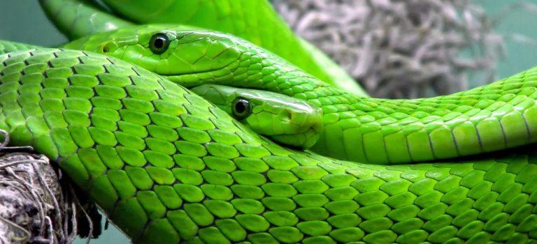 Tra le spire del Serpente del Tempo fino al 22 aprile 2019 – Rimedi per il Kāla Sarpa Yoga