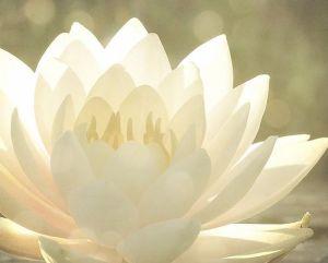 Blanc lotus