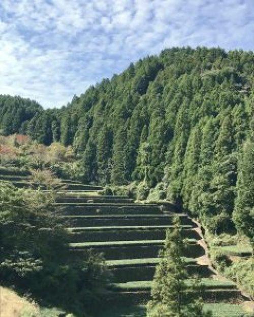 hydralyogatea organic Japanese mountain tea