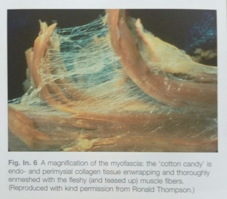 Myofascia (a photo from the Anatomy Trains book by Thomas Myers)