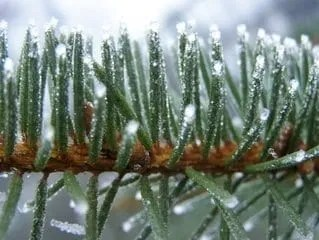 close up of a pine tree branch