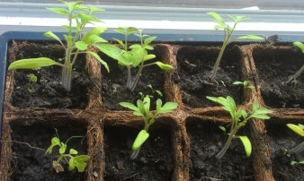 tomatoes from seed
