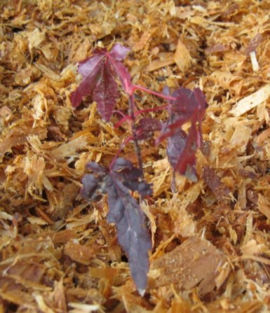 japanese maple from seed