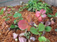 mulched strawberry bed