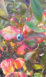 fall blueberry plants