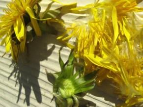 dandelion petals