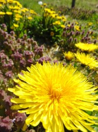 Wildflowers, Dandelion and Purple Deadnettle
