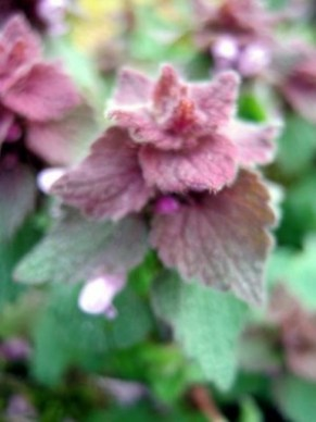 purple deadnettle forage