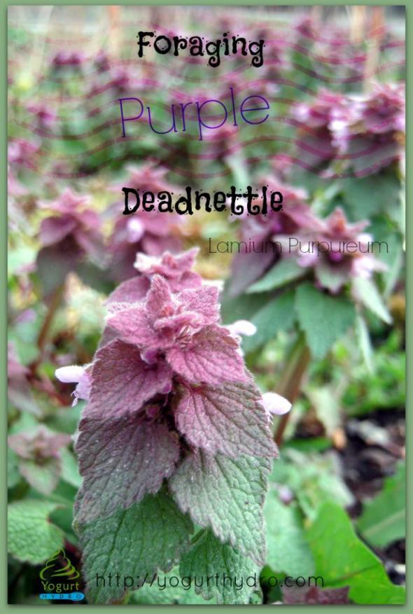 Foraging Purple Deadnettle