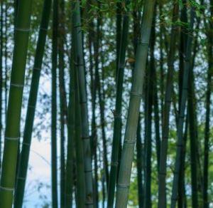 2019年全国で120年に一度の竹の花が咲いている謎に迫る