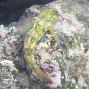 tidepoolfish1