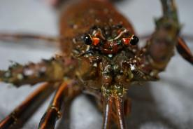 japanese_spiny_lobster_close