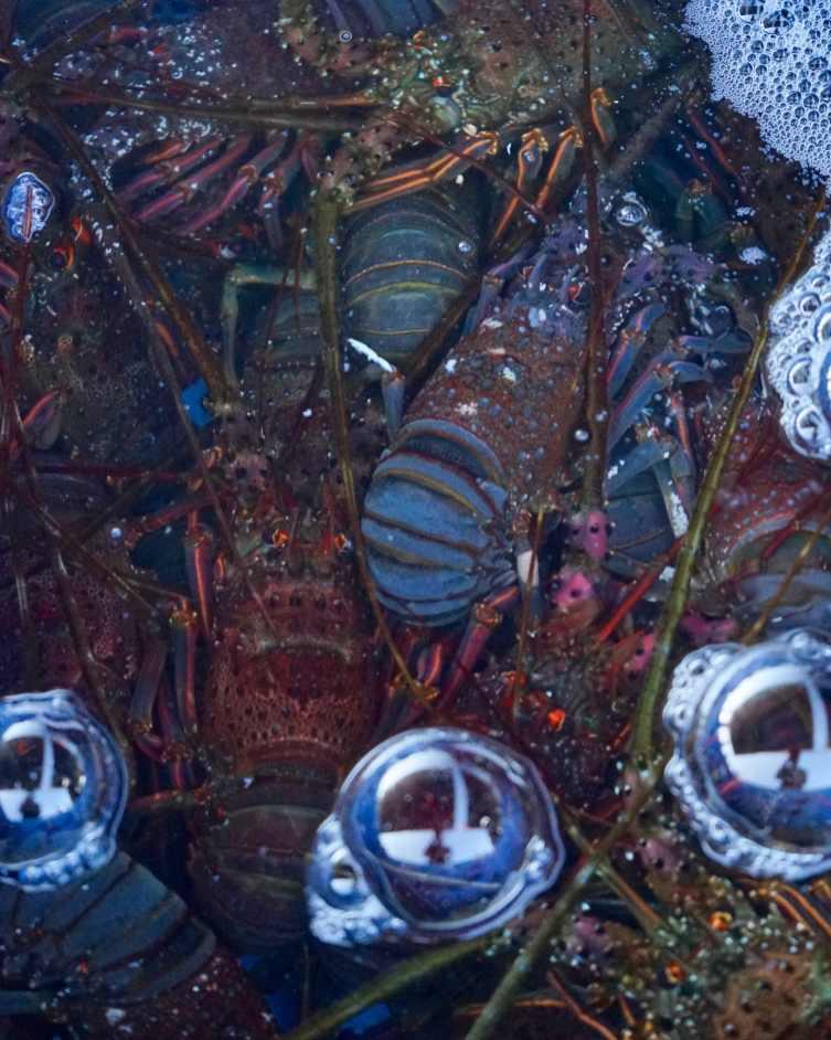 many_japanese_spiny_lobsters