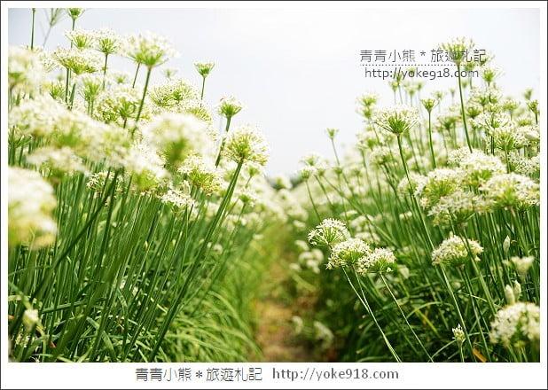 大溪韭菜花季》大溪下起九月雪.桃園一日遊景點