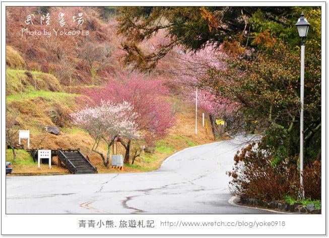賞櫻-武陵農場