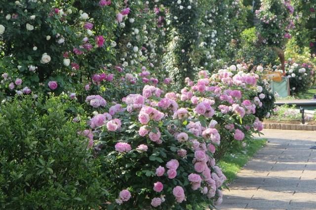 香りのバラ4