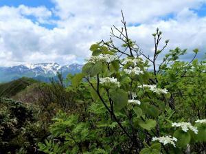 2オオカメノキの花越しの苗場山