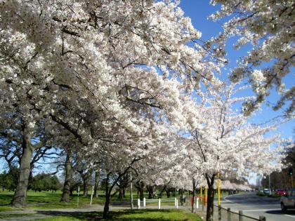 クライストチャーチ ハグレーパーク 桜