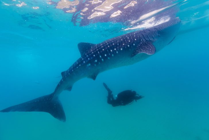 Underwater shoot of a gigantic whale sharks ( Rhincodon typus) feeding plankton on the surface of the water. The diver in the background.These sharks have no teeth and are filter feeders.