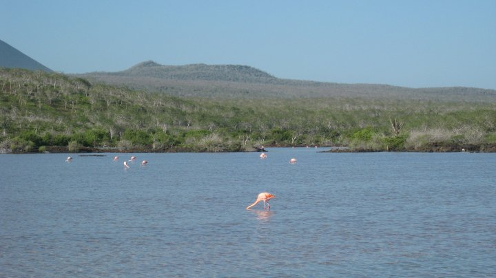 flamingoes, Floreana island, Galapagos islands