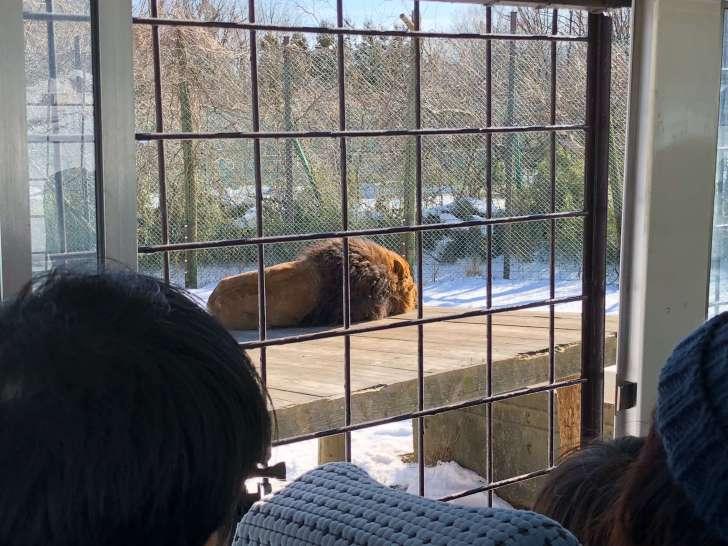寒そうなライオン