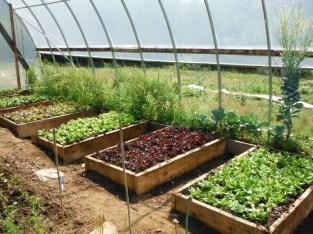 greenhouse lettuce