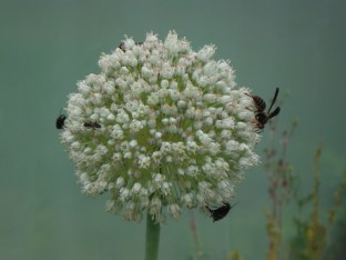 pollinators love the blooming leek