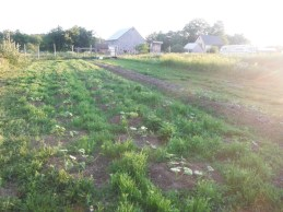squash patch just planted into cover crop