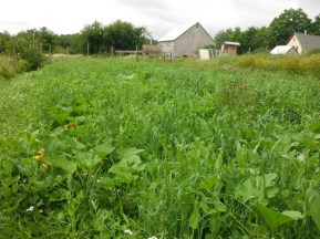 squash patch with cover crop of oats, peas, and vetch
