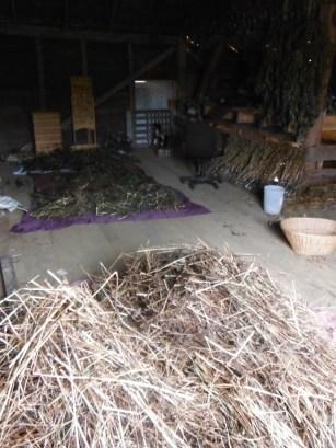 barn loft seed curing buckwheat