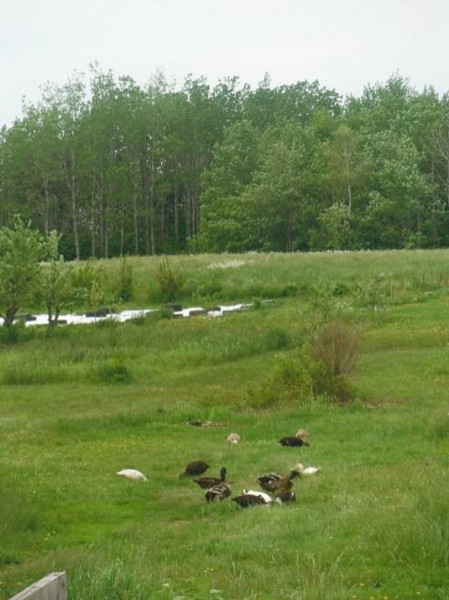 ducks ranging 2019