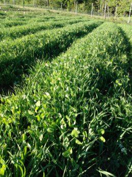 cover crop in June