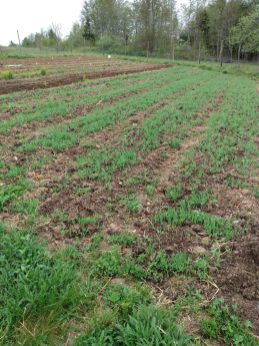 cover crop in May