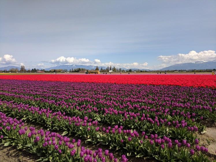 Peak tulip bloom at RoozenGaarde, the largest flower bulb grower in North America