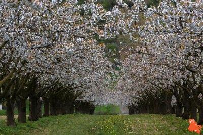 2019 04 06 - Les cerisiers de Jussy - YET89-12