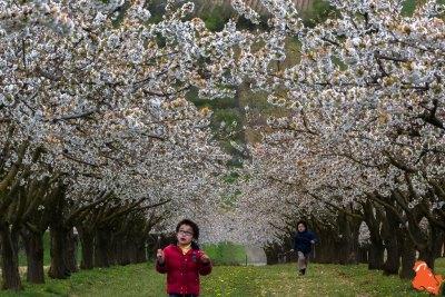2019 04 06 - Les cerisiers de Jussy - YET89-14