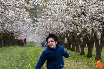 2019 04 06 - Les cerisiers de Jussy - YET89-17
