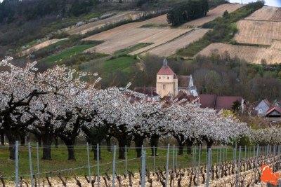 2019 04 06 - Les cerisiers de Jussy - YET89-2